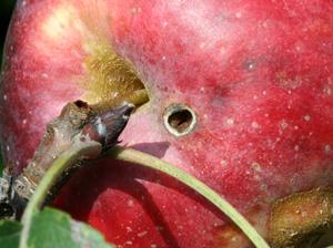 Hole caused by feeding of adult plum curculio