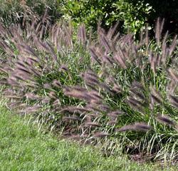 Red Head fountain grass.