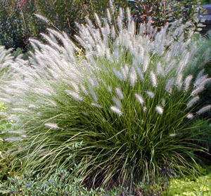 Fountain grass is easily grown in most soils.