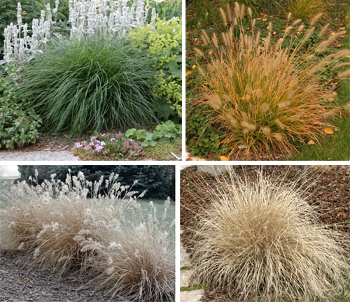 The deep green leaves of fountain grass turn orange-bronze in autumn, and fade to dull beige. The inflorescences do not last through the winter.