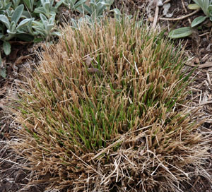 Fountain grass growing in spring through the cut-off remainder of the previous years growth.