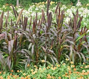 Purple Jester ornamental millet.