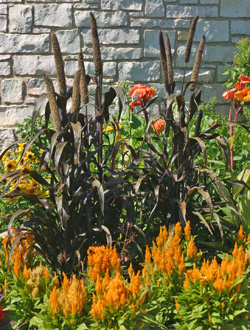 The dark foliage and flowers of Pennisetum glaucum contrast with orange celosia and other ornamentals in a garden.