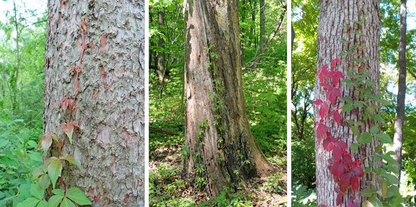Virginia creeper frequently climbs trees.