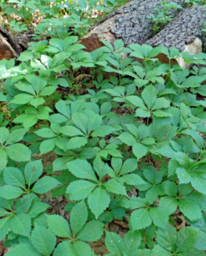 Virginia creeper has five-fingered leaves.