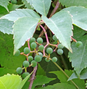 The berries mature from green to blue-black in late summer and persist on the vines.