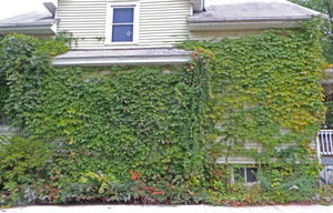Virginia creeper will cover a building if allowed to.