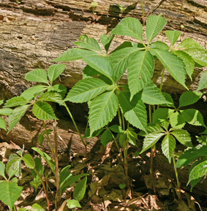 Virginia creeper is most vigorous in full sun but tolerates heavy shade.