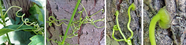 Virginia creeper has branched tendrils (L and LC) that cling with strong adhesive disks on the tips (RC and R).