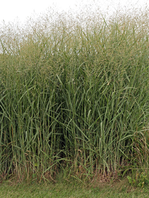 Switchgrass is a native prairie grass that adapts well to gardens.
