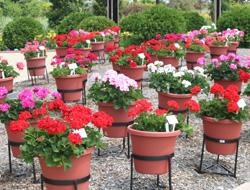 Pelargonium cultivars display at Ball Gardens, IL.