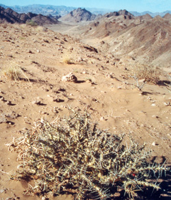 A leafless plant of Sarcocaulon pearsonii (foreground) near Rosh Pinah, Namibia.
