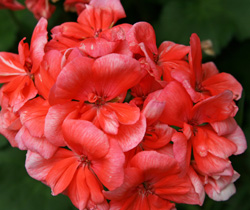 A modern geranium hybrid.