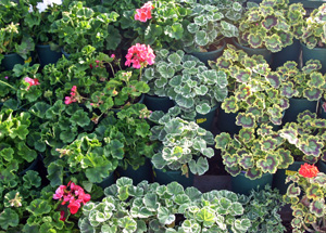 selection of horticultural geraniums for sale.