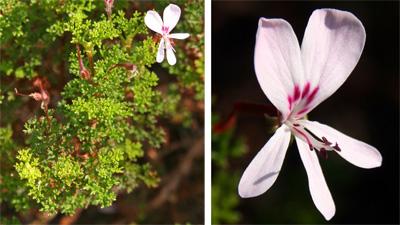 Pelargonium fruticosum plant (L) and flower (R).