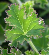 A ginger scented-leaf geranium.