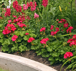 Zonal geraniums used as bedding plants.