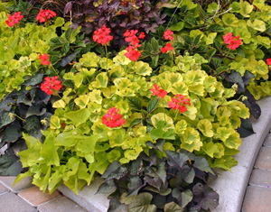 Geraniums grown for their fancy leaves (mixed with green and purple sweet potato vine).