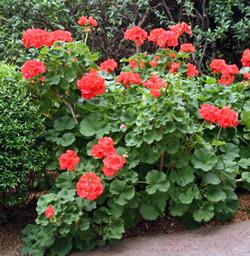 Geraniums are popluar bedding plants.