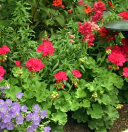 Pelargonium x hortorum mixed with other annuals and perennials.