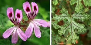 Pelargonium quercifolium flower (L) and leaf (R).