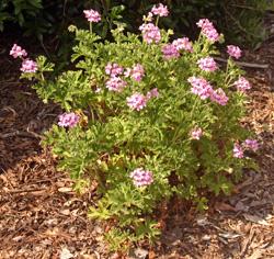 A scented geranium plant.