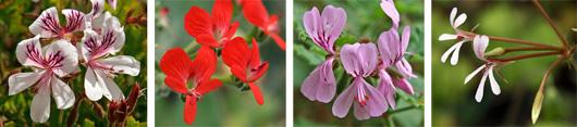 The flowers of different Pelargonium species (L-R): P. betulinum, P. fulgidum, P. hispidum, and P. puchellum.