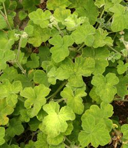 Pelargonium tomentosum.
