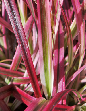 The narrow grass leaves are variegated in green, pink and red.