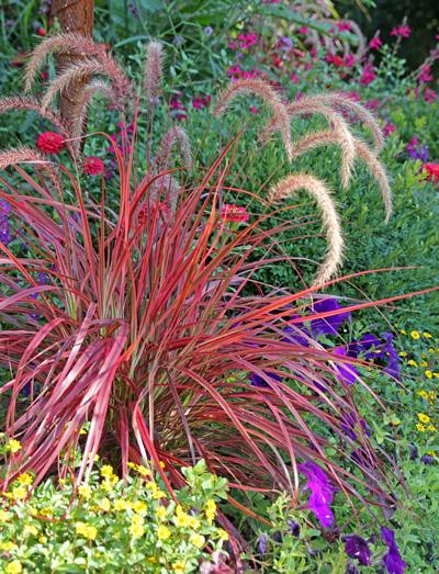 Pennisetum fireworks master gardener program for Variegated grass with purple flower