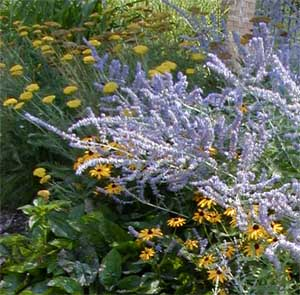 Russian sage combines well with yellow flowers.