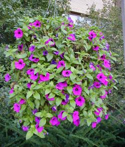 Petunias fill a hanging basket.