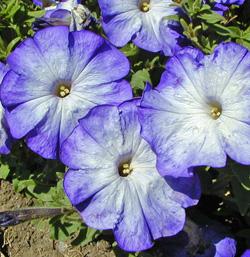 Petunia Merlin Blue Morn