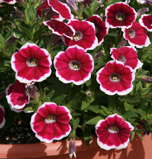 Petunia Petitunia Rim Purple Dream