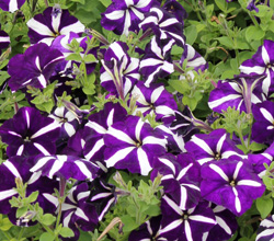 Petunia Prime Time Blue Star