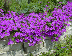 Petunia Purple Wave