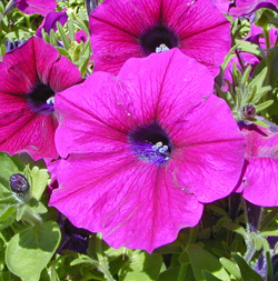 Petunia Ramblin Burgundy Chrome
