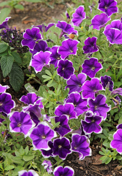Petunia Rhythm & Blues