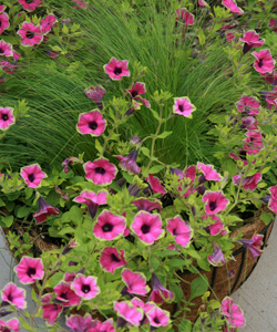 Petunias generally have few pest problems.