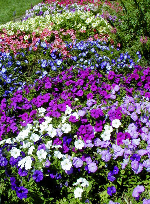 Petunias come in a wide variety of colors.
