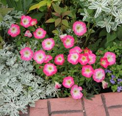 Petunias do best in full sun.
