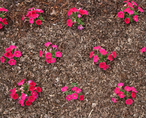 Space petunia transplants according to how much they will spread.