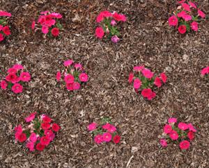 Petunia Spacing Master Gardener Program