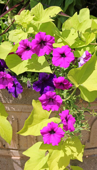 Petunias are a common addition to containers.