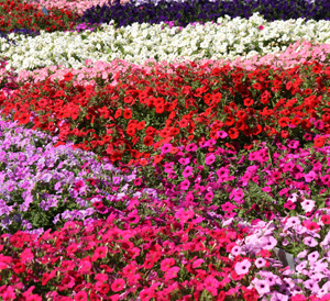 Grandiflora petunias with large flowers are available in many colors and patterns.