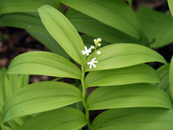 False Solomons seal (Maianthemum sp.) has terminal flowers.
