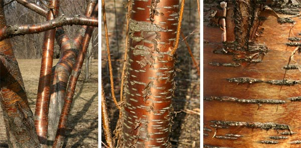 The beautiful bark of amur cherry is quite ornamental.