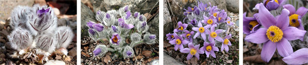 Pulsatilla halleri taurica in bud and in bloom in a rock garden.