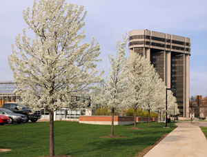 Callery pear in bloom on the UW campus.