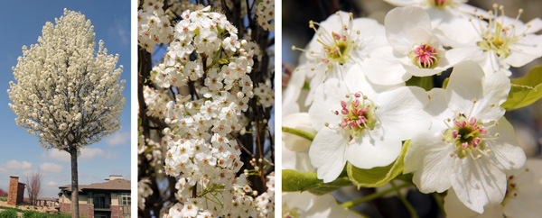Callery pear blooms in early spring (L), with branches heavily covered (C) with white flowers (R).